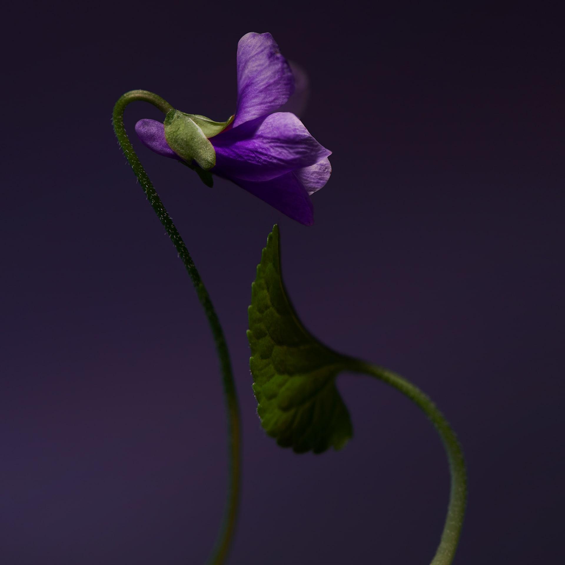 olfactive-studio-violet-shot-1